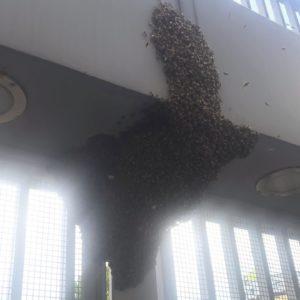SCIAME D'API AL CONCERTO DI VASCO ROSSI 2 - recupero api milano